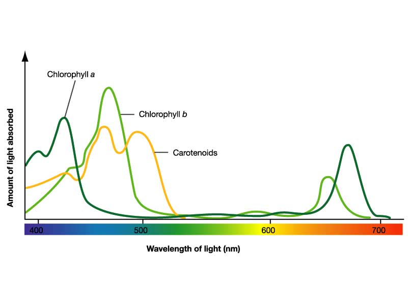 Figure 10: Absorption of light by chlorophyll